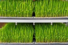 De zaailingen van de rijst op een rek Royalty-vrije Stock Foto's