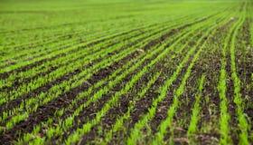 De zaailingen van de tarwe die op de landelijke gebieden binnen vroeg worden gekweekt Stock Afbeeldingen
