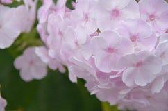 De zachte achtergrond van hydrangea hortensiamacrophylla Stock Afbeelding
