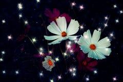 De zachte bloem van de nadrukkosmos met bokehster glillter op donkerblauwe B Stock Foto