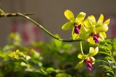 De zachte Groene bloem van mengelings Donkere Roze orchideeën Stock Afbeeldingen