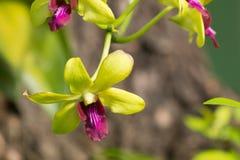 De zachte Groene bloem van mengelings Donkere Roze orchideeën Royalty-vrije Stock Foto