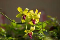 De zachte Groene bloem van mengelings Donkere Roze orchideeën Stock Foto's