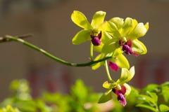 De zachte Groene bloem van mengelings Donkere Roze orchideeën Stock Fotografie