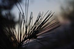 De zachte pinus pinea stock foto