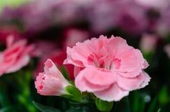 De zachte roze anjer bloeit macro stock foto