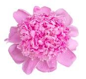 De zachte roze natte geïsoleerde macro van de pioenbloem Royalty-vrije Stock Afbeelding