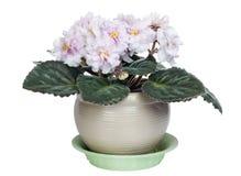 Zachte roze viooltjesstruik Royalty-vrije Stock Fotografie