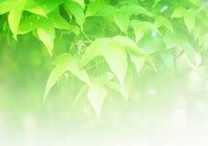 De zachte vage groene achtergrond van esdoornbladeren Stock Foto
