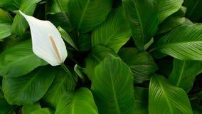 De zachte witte calla lilly bloem kijkt uit van groene verse bladeren op achtergrond stock video