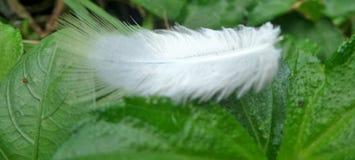 De zachte witte veer blaast zacht in de wind en het land op groene bladeren Royalty-vrije Stock Afbeeldingen