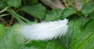 De zachte witte veer blaast zacht in de wind en het land op groene bladeren Stock Foto