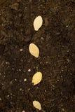 De zaden in Grond sluiten omhoog Stock Foto
