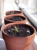 De zaden ontkiemen in de lente Royalty-vrije Stock Fotografie