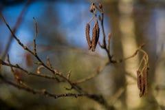 De zaden van de boom Stock Fotografie