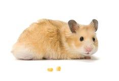De zaden van de hamster en van het graan Stock Foto