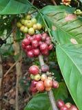 De zaden van de koffie Stock Fotografie