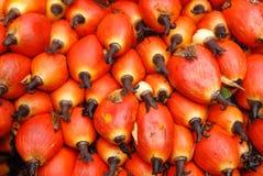 De zaden van de palm in het landbouwbedrijf Royalty-vrije Stock Foto