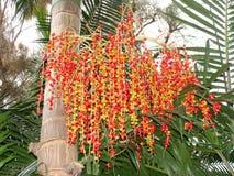 De zaden van de Palm van Bangalow Royalty-vrije Stock Afbeelding