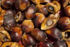 De zaden van de palmolie Stock Fotografie