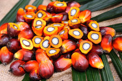 De zaden van de palmolie Royalty-vrije Stock Afbeeldingen