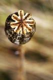 De zaden van de papaver in de doos Stock Fotografie