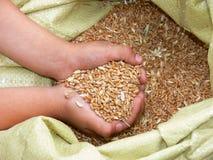 De zaden van de tarwe stock foto's