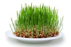 De zaden van de tarwe met groene spruiten stock afbeeldingen