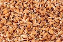 De zaden van de tarwe met spruiten Royalty-vrije Stock Foto's