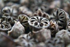 De zaden van de theeboom sluiten omhoog Royalty-vrije Stock Afbeeldingen