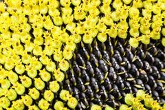 De zaden van de zonnebloem corolla stock fotografie