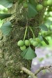 De zaden van Ginkgobiloba stock afbeelding