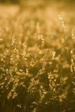 De zaden van het gras in recent zonlicht stock foto's