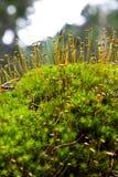 De zaden van het mos stock foto's
