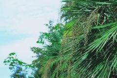 De zaden van de oude palm zullen u een mooiere kleur dan nieuwe met slechts één green geven stock fotografie