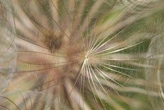 De zaden van Tragopogonpratensis stock foto's
