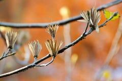 De zaden van tulpenbomen stock fotografie