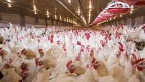 De zaken van het gevogeltelandbouwbedrijf voor de landbouw van vlees stock foto