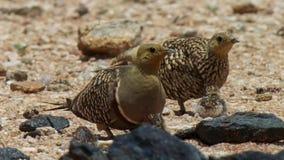 De zandhoenkuikens broeden, de Woestijn van Kalahari, Zuid-Afrika uit stock fotografie