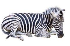 De zebra Royalty-vrije Stock Afbeeldingen