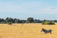 De zebra daarin is habitat Stock Fotografie