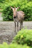 De Zebra van Burchell Stock Foto's