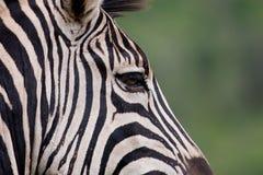 De Zebra van Burchell Royalty-vrije Stock Foto