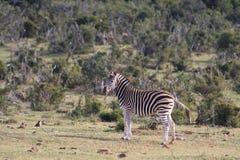 De Zebra van Burchell Stock Afbeeldingen