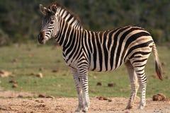 De Zebra van Burchell Stock Foto