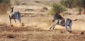 De Zebra van Burchell Royalty-vrije Stock Fotografie