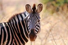 De Zebra van Burchell Stock Fotografie