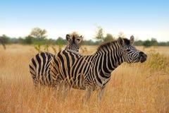 De Zebra van Burchell (burchellii Equus) Royalty-vrije Stock Afbeeldingen