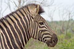 De Zebra van Burchell (Equus-burchelli) Stock Afbeelding