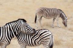 De zebra van Burchell met veulen, Equus-quaggaburchellii royalty-vrije stock foto